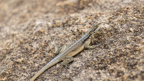 Three eyed plated lizard camouflaged on a rock in Madagascar. Plated lizard close up portrait on a rock in Anja, Madagascar Royalty Free Stock Photos