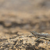 Three eyed plated lizard head portrait in Madagascar rock reserve Royalty Free Stock Photo