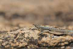 Three eyed plated lizard head portrait in Madagascar rock reserve Royalty Free Stock Images