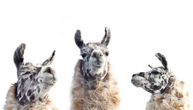 Three Faces of Appaloosa Llama Collage Stock Photo