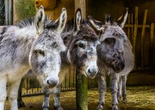 Three faces of miniature donkeys in closeup, funny animal family portrait, popular farm animals and pets. Three faces of miniature donkeys in closeup, a funny stock images