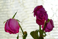 Three faded red roses on light background. Three faded red roses on a light background royalty free stock photos
