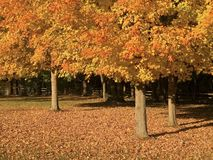 Three Fall Trees Stock Image