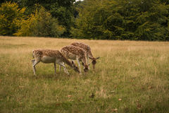 Three Fallow deer grazing Stock Photography