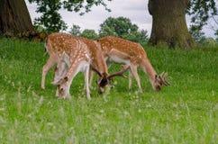 Three fallow deer grazing royalty free stock image