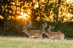 Three fallow deer walking on grass in sunset Stock Photography