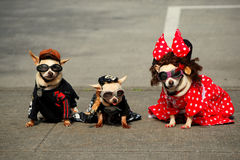 Three Fashionable Dogs (Chihuahuas) Royalty Free Stock Images