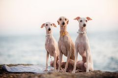 Three fashionable italian greyhound dogs on beach royalty free stock image