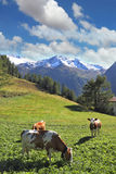 Three fat cows grazing on green alpine meadow Royalty Free Stock Photo