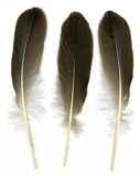 Three feathers. Three raven feathers on white background royalty free stock image