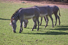 Three feeding zebras Stock Photos