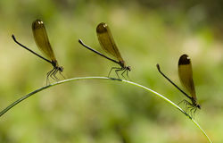 Three Female damselfly perched on a blade of grass Stock Image