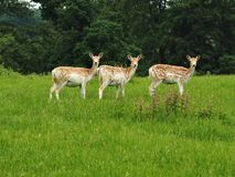 Three female fallow deer in a park stock photography