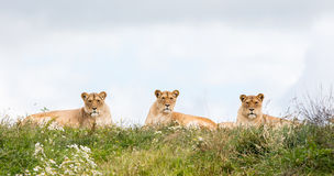 Three female lions Royalty Free Stock Image