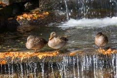 Birds and animals in wildlife. Close up of a Mallard Duck. Femal. Three Female Mallard duck, mallard, eurasian wild duck, Anas platyrhynchos Stock Photo