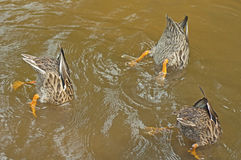 Three female Mallard Ducks feeding. Stock Images