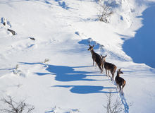 Three female Red Deer in the snow Royalty Free Stock Photography