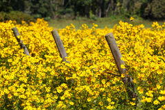 Three Fence Posts in Field of Yellow wildflowers royalty free stock image