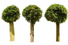 Three ficus tree Stock Photo