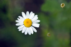 Three field daisy flowers grows, in summer closeup Royalty Free Stock Photography