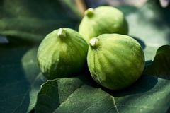 Three figs backlit on a fig leaves with white sap on the tips. stock photo