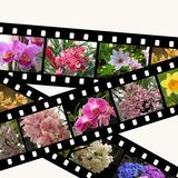Three filmstrips of flowers isolated on white Stock Image