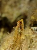 Three Fin Blenny. An underwater photo of a blenny fish royalty free stock photo
