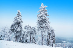 Three fir. Three fir on the slope of Ruka Ski Resort Stock Image