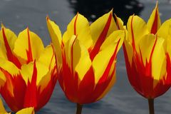 Three Fire Wing Tulips Stock Images