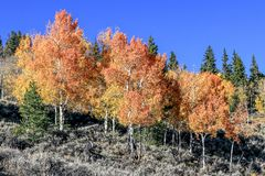 Row of Firey Red Aspens royalty free stock photos