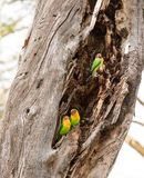 Three Fischer`s lovebirds in a tree trunk Stock Images