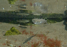 Three fish in the sea Royalty Free Stock Image