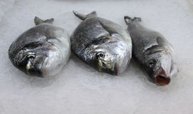 Three fishes. Three fresh fishes in the ice Royalty Free Stock Images