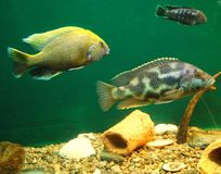Three fishes in aquarium. Three fishes in an aquarium, close up Stock Photography