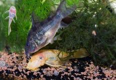 Three fish in aquarium royalty free stock photo