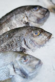 Three fishes in ice. Three fresh fishes in ice on store shelf Royalty Free Stock Photo