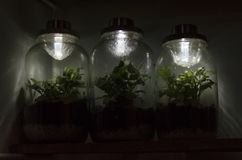 Three fittonia terrariums with solar lamps on top Stock Photo
