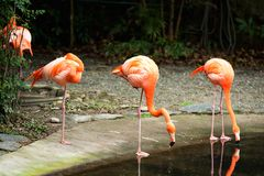 Three flamingo drinking water Stock Photography