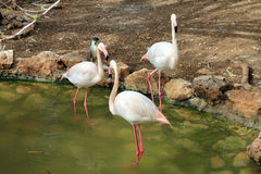Three Flamingo Stock Image