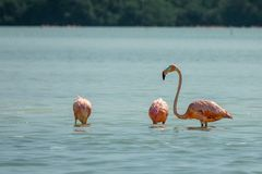 Three flamingo`s in the water royalty free stock photography