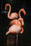 Three flamingos Stock Image