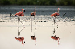 Three flamingos. Royalty Free Stock Images