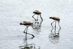 Three flamingos Stock Photography
