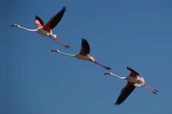 Three flamingos in flight Stock Photos