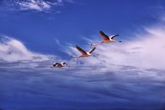 Three flamingos flying, Atacama desert, Chile. Royalty Free Stock Photo
