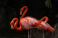 Three Flamingos Stock Photography
