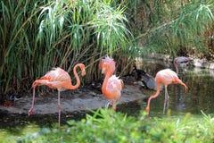 The Three Flamingos. Three flamingos play around in the drink Royalty Free Stock Photo