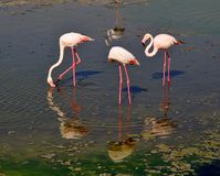 Three flamingos reflected in water, creating circular water wave Stock Images