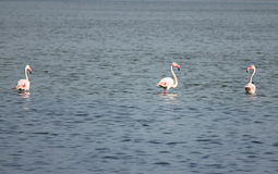 Three Flamingos Royalty Free Stock Photography