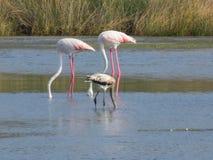 Three flamingos in Sardegna stock photography